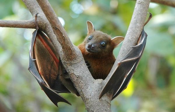 Photo og fruit bat.