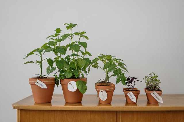 Phot of various herbs and vegetable plants in smapp garden pots.